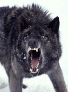 BLACK_WOLF_
